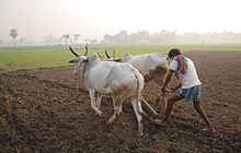 220px-Ploughing_with_cattle_in_West_Bengal (1)