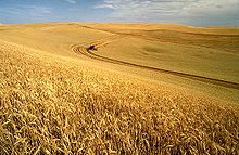 A Wheat Harvest In Idaho