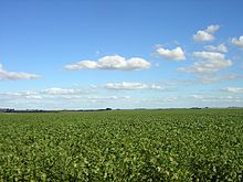 Soy field in Argentina's fertile Pampas. The versatile legume makes up about half the nation's crop production.