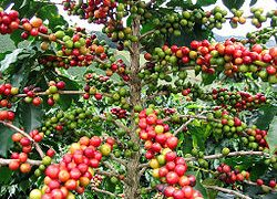 Coffee is one of the most important exports of Nicaragua.